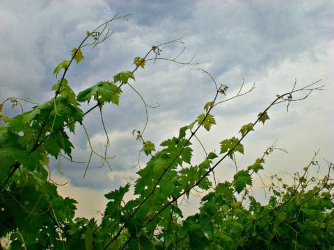 This is what wild grapevines look like when they're growing in the summertime.